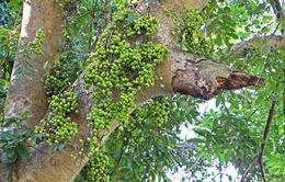 Những công dụng chữa bệnh tuyệt vời của cây sung