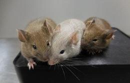 Chuột sinh sôi nhanh chóng tại New York (Mỹ) do biến đổi khí hậu