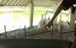 Triển khai chống dịch cúm H5N1