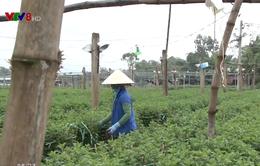 Nhiều nông dân Đà Nẵng mất vụ hoa Tết Nguyên đán