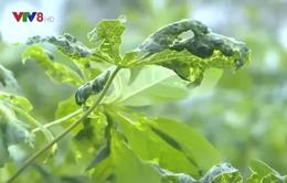 Quảng Ngãi: Phòng vi rút khảm lá trên cây trồng