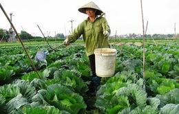 Hà Nội sẽ gieo trồng hơn 39.000 ha cây vụ Đông