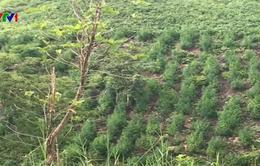 Thu giữ hơn 2.000 cây cần sa ở Gia Lai