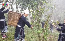 Cách làm chè Shan tuyết của người Dao Na Hang