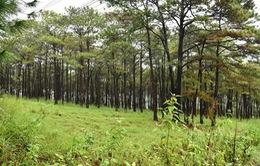 Thủ tướng yêu cầu báo cáo về rừng thông phòng hộ ở Đắk Nông bị đầu độc