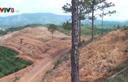 Lâm Đồng: Giải tỏa cây trồng trên đất lâm nghiệp bị lấn chiếm