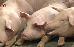 Thành công bước đầu nghiên cứu vaccine phòng dịch tả lợn châu Phi