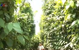 Đắk Nông: Nông dân trồng tiêu liên kết vượt qua khó khăn để sản xuất