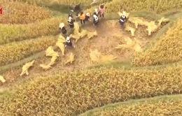 Không khí ngày mùa của người Dao (Tuyên Quang) trong mùa gặt