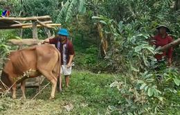 Quảng Trị: Nguy cơ lây lan bệnh lở mồm long móng tại xã Vĩnh Ô