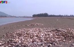 Hà Tĩnh: Đã xác định được nguyên nhân ngao chết hàng loạt ở huyện Lộc Hà
