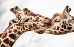 Khoảnh khắc thân mật của các loài động vật khiến chúng ta ghen tị