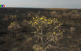 Dập tắt cháy rừng tại Bolivia