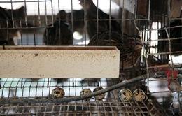 Singapore ngừng nhập khẩu trứng cút từ Malaysia do tồn dư hóa chất