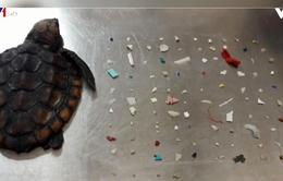 Phát hiện hơn 100 mảnh nhựa trong bụng rùa con