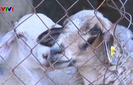 Gia tăng nạn trộm cắp dê, cừu ở Ninh Thuận