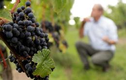Sản lượng nho làm rượu vang sụt giảm mạnh trong năm 2019