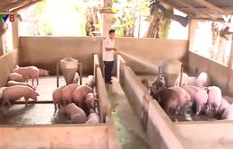 Quảng Nam khó tái đàn sau dịch tả lợn Châu Phi