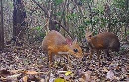 Phát hiện hươu chuột lưng bạc lần đầu ở Việt Nam trong gần 30 năm