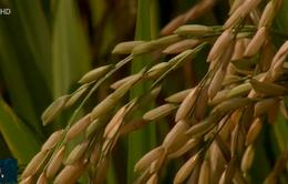 Sản xuất lúa chất lượng - Điểm cộng cho nông dân Việt