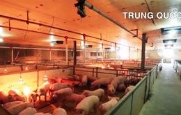 Giao dịch hợp đồng tương lai đối với thịt lợn tại một số quốc gia