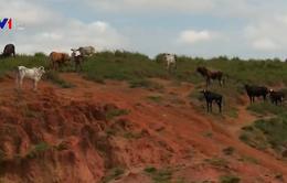 Báo động tình trạng chặt phá rừng để nuôi bò ở Brazil