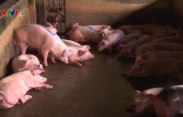 Giá lợn hơi duy trì ở mức ổn định