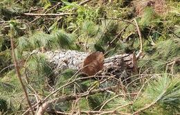 Lâm Đồng: Buộc đối tượng chủ mưu trồng lại rừng thông đã phá