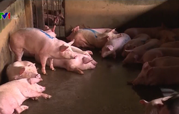 Bộ NN&PTNT kiểm tra nguồn cung thịt lợn