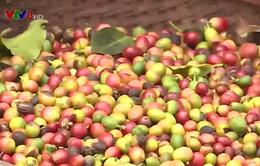 Quảng Trị: Người trồng cà phê gặp khó khăn