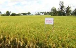 Chuẩn quy trình canh tác đến đa dạng sản phẩm từ gạo