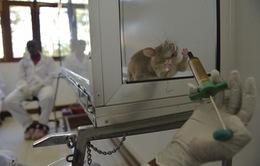 Nga sử dụng chuột trong chẩn đoán bệnh lao chính xác tới 95%