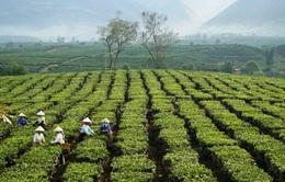 Việt Nam là nhà cung cấp trà số 1 cho Đài Loan (Trung Quốc)