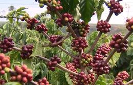 Nâng cao chất lượng cà phê Việt Nam