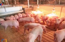Trung Quốc khuyến khích trang trại nhỏ chăn nuôi lợn