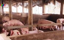Bộ NN&PTNT yêu cầu các doanh nghiệp chăn nuôi tái đàn lợn