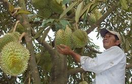 Sầu riêng Việt tìm cơ hội tại Australia