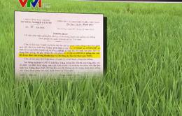 Công khai 2 giống lúa không có trong danh mục giống cây trồng