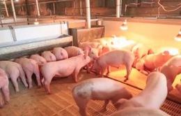 Hơn 5 năm nữa, đàn lợn của Trung Quốc mới có thể hồi phục
