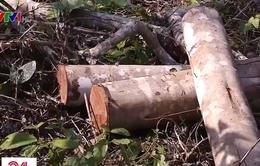Lâm tặc đốn hạ hàng trăm cây gỗ rừng tại Thanh Hóa
