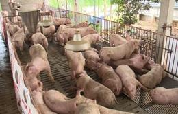 Giải pháp tái đàn để đảm bảo nguồn cung thịt heo