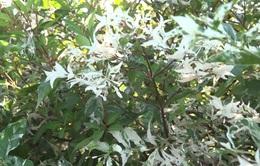 Mai Cẩm Thạch - cây cảnh đẹp lạ từ làng hoa Sa Đéc
