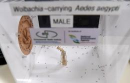 Singapore áp dụng phương pháp Wolbachia phòng chống dịch sốt xuất huyết