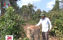 Làm rõ trách nhiệm vụ Khu Bảo tồn phá rừng trồng dược liệu