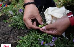 Thực vật mọc dại - Nguồn lương thực thay thế trong giai đoạn biến đổi khí hậu