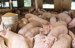 Hà Nội: Khoảng 3.500 hộ đủ điều kiện tái đàn lợn