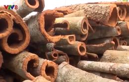 Quảng Nam tìm hướng bảo tồn cây quế Trà My