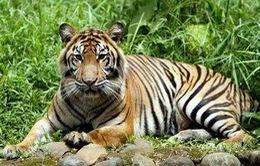 Indonesia: Bắt giữ 5 người tàng trữ bào thai hổ Sumatra quý hiếm