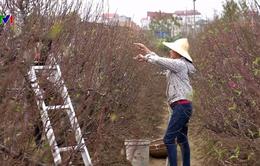 Người trồng đào Nhật Tân tất bật dịp cuối năm