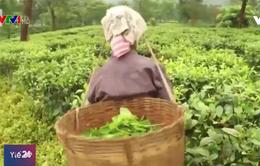 Mối nguy đối với các thai phụ làm việc trong những vườn chè ở Ấn Độ